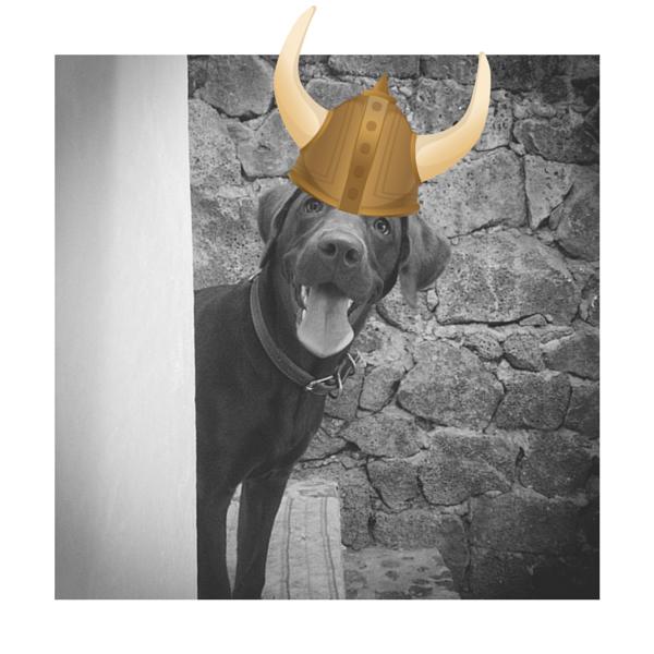 Cuca la Labrador de la semana #2 con su sombrero de Vikingo