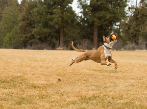 con la domesticación es natural que quieran perseguir hasta lo que sus humanos les avientan, en este caso pelotas.