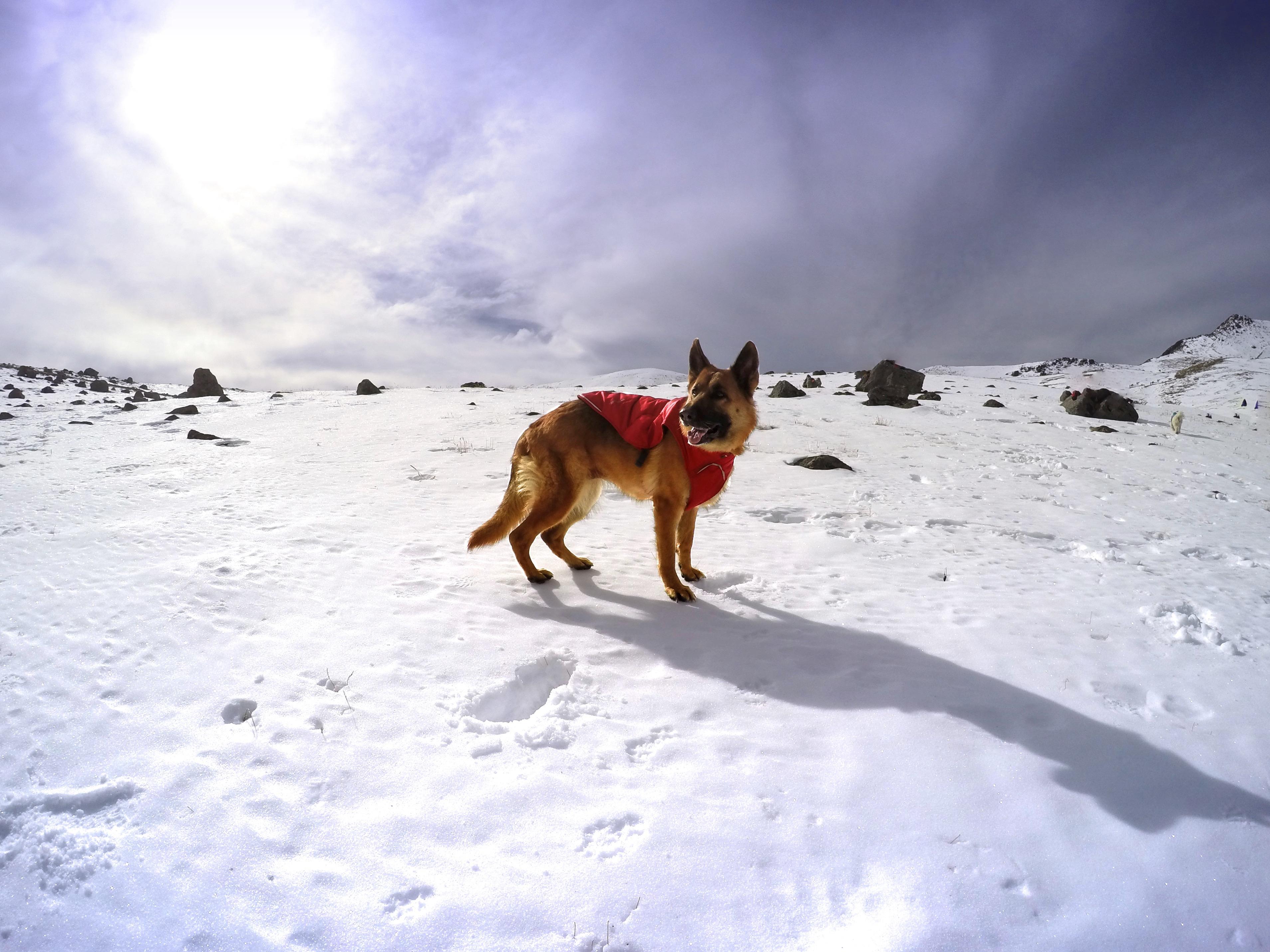 Frida la Pastor Alemán en el Nevado de Toluca