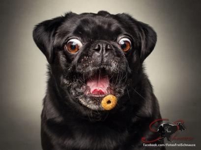 Este Pug está más sorprendido porque es muy probable que lo cache, sería su primera vez.