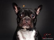 Este bulldog francés esta pensando y analizando si ese premio es de su agrado.